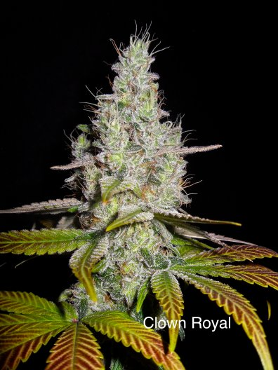 Clown Royal (Gorilla Glue #4 x DJ Short F4 Blueberry) 14 Regular Seeds