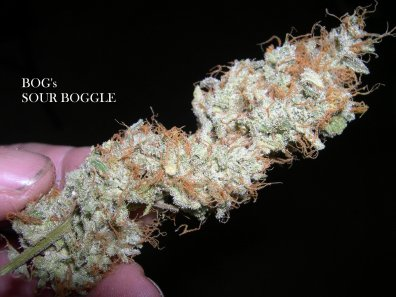 Sour Boggle (BOG Bogglegum X BOG Sour Bubble) 13 Regular Seeds