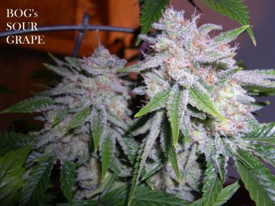 Sour Grape (BOG Grape Punch x BOG Sour Bubble) 13 Regular Seeds