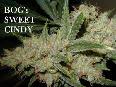 Sweet Cindy (Sweet Tooth #3 x Cinderella 99 x BOG Bubble) 13 Regular Seeds