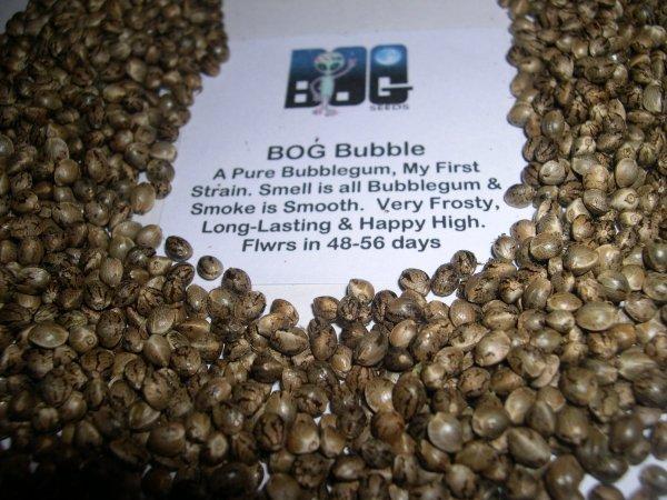 BOG Bubble 13 Regular Seeds
