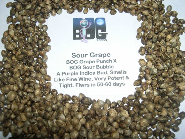 Sour Grape (BOG Grape Punch x BOG Sour Bubble) 13 Regular Seeds