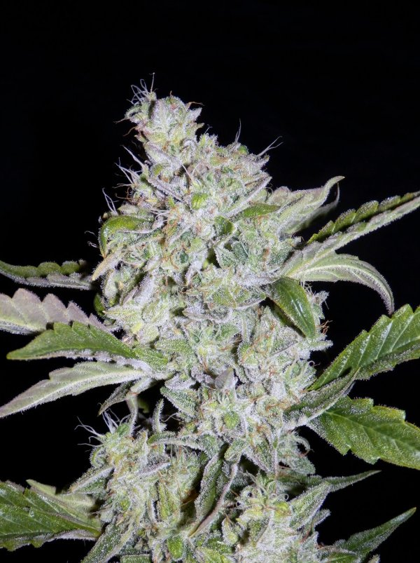 Walter White (Krome's 'the white' cut x Breeding Auto WC1) F5 Auto 7 Feminized Seeds