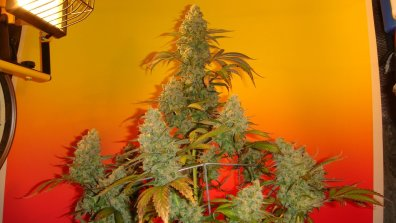 Old Time Bubba Kush (Bubba Kush Pre-98 x Old Time Moonshine) 10 Regular Seeds