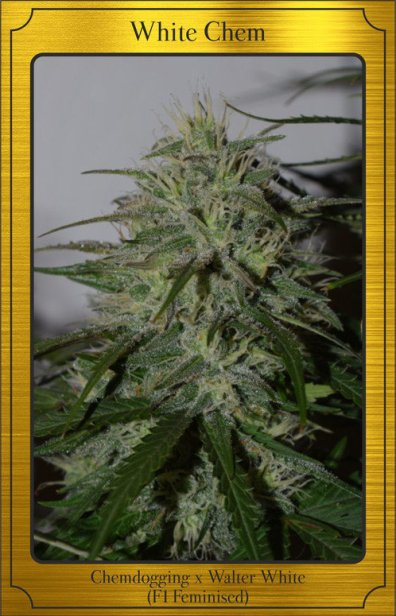 White Chem Auto (Walter White x Chemdogging) 7 Feminized Seeds (LIMITED EDITION)
