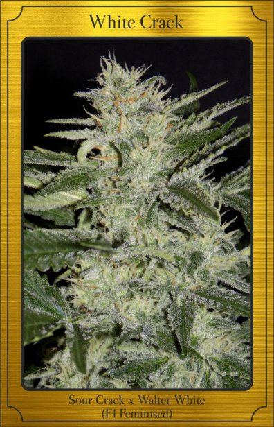 White Crack Auto (Sour Crack x Walter White) 7 Feminized Seeds (LIMITED EDITION)