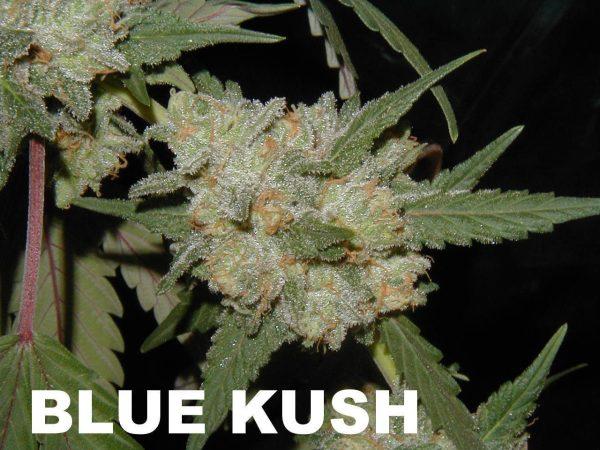 Blue Kush (BOG Blue Moon Rocks  X  BOG Sour Bubble) 13 Regular Seeds
