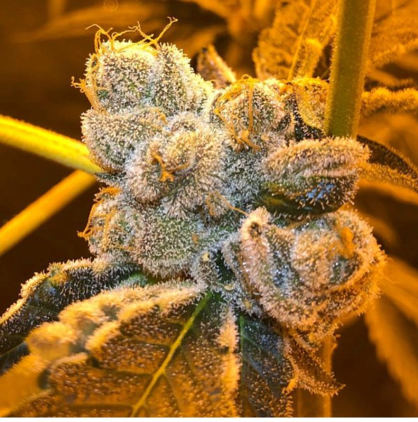 Beach Wedding (Wedding Cake x Tropicanna Cookies) 12 Regular Seeds