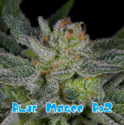 Blue Magoo Bx2 10 Regular Seeds