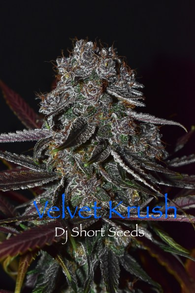 Velvet Krush F5 13 Regular Seeds
