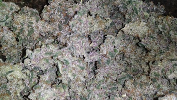 Blueberry Gelato (Gelato 33 x Old Time Bubble Gum) 12 Regular Seeds