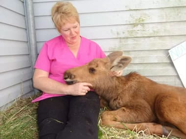 Bonnie Harris, manager of the Gander NL SPCA, caring for an abandoned young moose. (Photo credit: Gander SPCA handout)