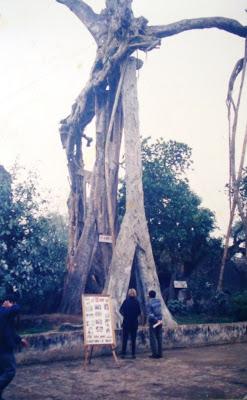 Cây Đa tương truyền do Ngô Quyền tự tay trồng trước đền thờ Hai Bà Trưng ở Cổ Loa (ảnh chụp 1997). Nguồn: taolaoga.blogspot.ca/