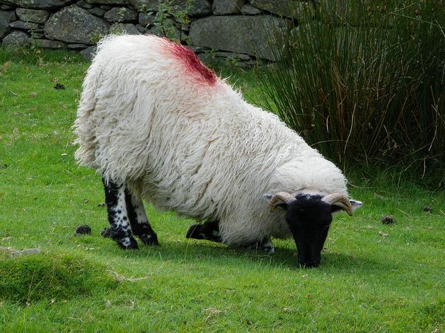 Cừu quỳ gối ăn cỏ. Nguồ: Ambersky235