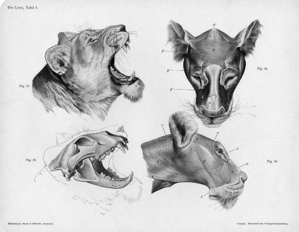 1280px-Lion_anatomy_head