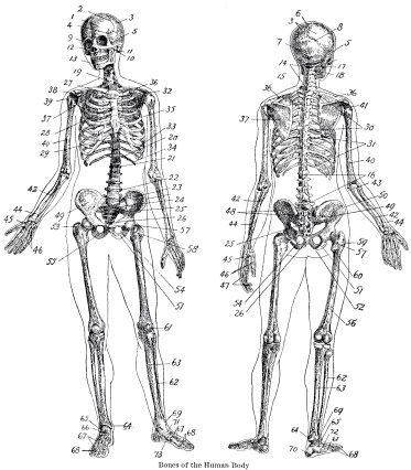 Vintage-Anatomy-Skeleton-Images-GraphicsFairy