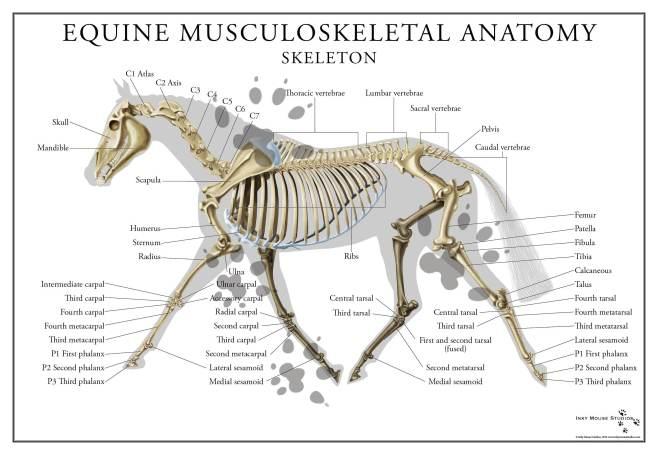 equine-skeletal-anatomy-poster