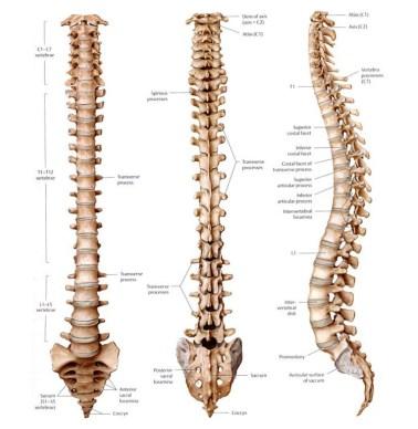 spine (2)