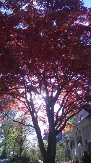 az én kedvencem ez a piroslevelű fa