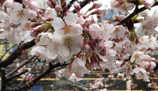 桜開花の足音@飯田橋