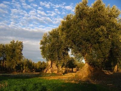 Die Geschichte von Olivenöl