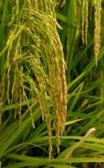 Calasparra Reis Ursprungsbezeichnung