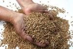 Dinkel ein freundliches Getreide