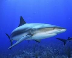 Haifischknorpel und Arthritis