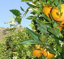 Andalusien: Bio-Anbau von Zitrusfrüchten