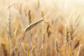 Rezepte mit Weizen