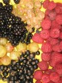 Ernte in der Beerenplantage bei Crowdfunding mit Hotel Gutschein