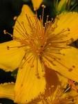 1 Johanniskrautblüte als Grossaufnahme