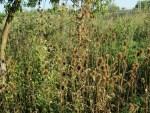 Karden vor der Ernte im Garten fuer Kardenwurzeln Essenz 100ml
