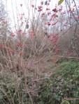 rote Schneeball Beeren als Dekoration in der Natur
