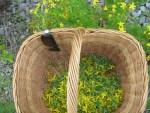 1 Korb mit gesammelten Johanniskraut Blueten fuer Bären Balsam
