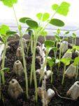 Samen erfolgreich keimen lassen - Die beste Methode Samen, Jungpflanzen im Eierkarton