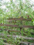 Hühnerauge, Hornhaut und Warzen - Das Gratis Mittel, starke Weide