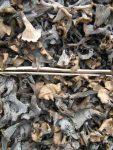 frische Herbsttrompeten werden getrocknet fuer Mischpilze 3er-Mix gemahlen