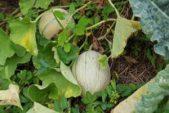 Biomasse Heizung Eigenheim - DIY Bauanleitung und Sparen (Teil 3/4) Mulch u Zuckermelonen