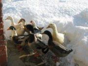 Wintereindrücke Permakultur Garten im Schnee, Enten im Schnee