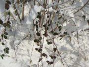 Wintereindrücke Permakultur Garten im Schnee, Brombeer im Schnee
