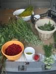 Kraeuter, Samen u Blueten sammeln wir auf den Ausfluegen um Karlovac