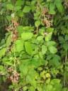 Märchen Dornröschen wilde rote Brombeeren sind in 2 Tagen reif