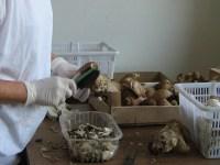Waldpilze selber verwerten mit weicher Buerste Pilze abreiben