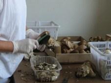 Pilze mit weicher Buerste abreiben