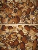 Pilze frisch gesammelt