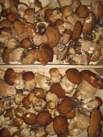 Pilze viele frische Steinpilze