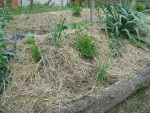 gemulchte Huegelbeete im Permakultur-Garten von Rosi & Pierre