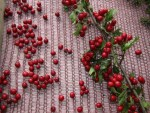 abgrabbschen der frischen Beeren fuer die Weissdornbeeren Essenz