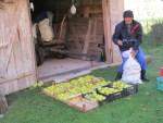 Obstbauer hilft uns beim Wiegen und Einpacker der Quitten